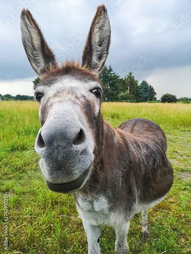 friendly face of a donkey Fototapete