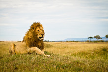 Tired Male Lion Lying In The Gras Of The Maasai Mara, Kenya.