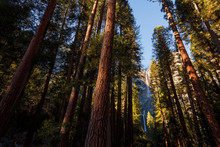 Yosemite National Park, California, USA: The Yosemite Falls Photographed Through The Pine Forest.