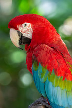 Beautiful Exotic Tropical Red Parrot Bird In The Bird's Park