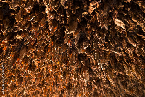 Tobacco leaves drying to make cuban cigars in ViÒales, Cuba.