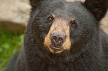 Close Up Of Wild Black Bear Fa...