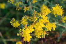 Hypericum Yellow Flowers Macro