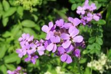 Lunaria Flowers