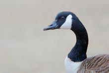 Canada Goose (Branta Canadensis) Head Portrait At Jones State Park, Long Island New York