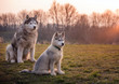 Baby Husky is sitting in the meadow with his grandfather. Old gray black white husky. Sweet baby husky with big paws gray white fur and blue eyes. Both sit on the left side of the picture