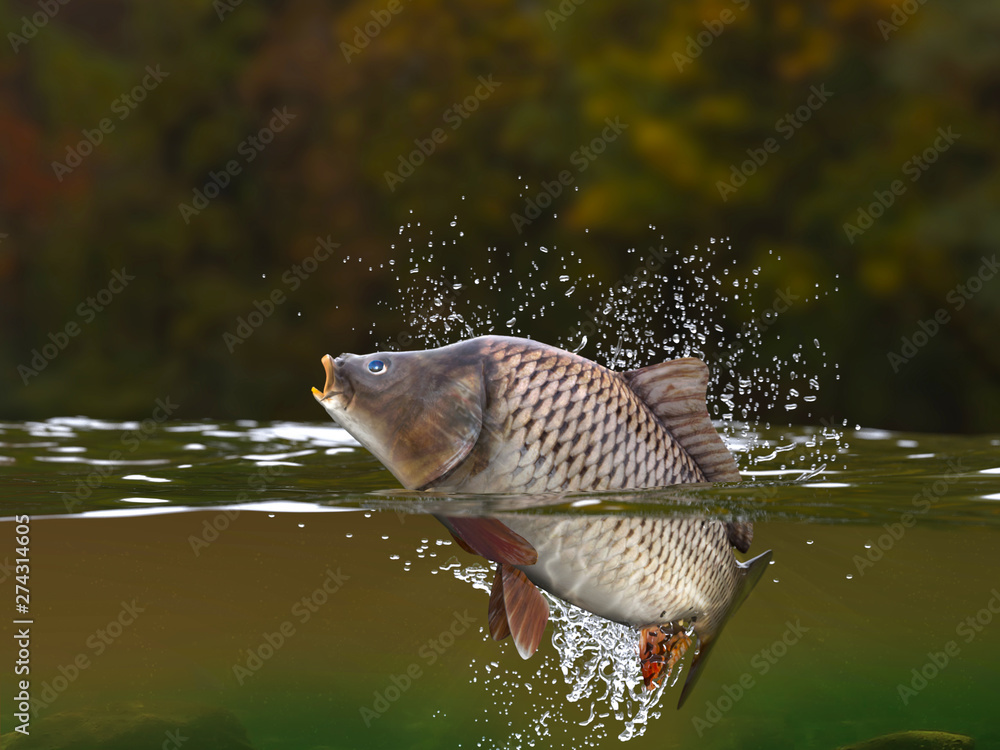 Fototapety, obrazy: Carp fish jumping in river halfwater view 3d realitstic render