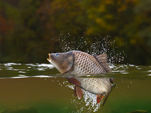 Carp Fish Jumping In River Hal...
