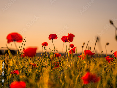 Poster Klaprozen Image of huge poppy field during sunset