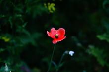 Lato W Przyrodzie,kwiaty,maki