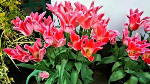 Printed kitchen splashbacks Tulip Springtime Red Tulips.