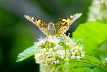 The Painted Lady Butterfly (Vanessa Cardui) Using Its Extended Proboscis To Reach The Nectar Of The Tatar Maple (Acer Tataricum) Flowers