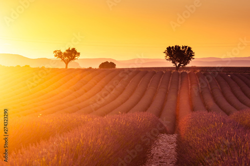 Printed kitchen splashbacks Eggplant Lavender plantation field during sunset beautiful place in Provence in France.