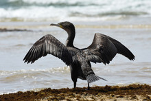 Cape Cormorant Bird With Wings...