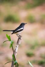 Oriental Magpie Robin The Beautiful Bird,