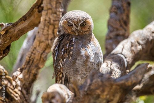Elf Owl in the desert Canvas Print