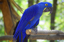 A Hyacinth Macaw Parrot