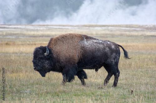 Canvas Prints Bison American Bison (Bison bison)