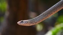 Rat Snake Closeup Portrait On Tree Moving  Branch Long Dangerous