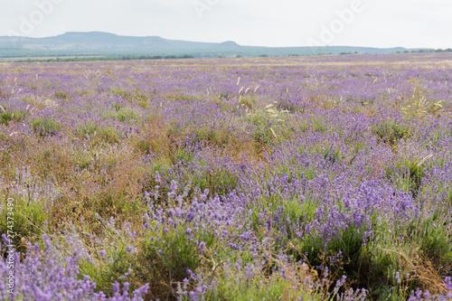 Keuken foto achterwand Heuvel shooting lavender flowers on a hot summer day