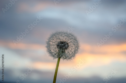 Poster Paardenbloem Blowball against the evening sky