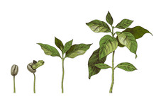 Hand Drawn Coffee Seedlings. 4 Stages Of Growing Plant