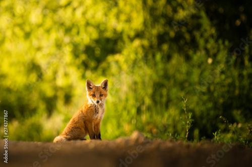 Red fox cub , Vulpes Vulpes Canvas-taulu