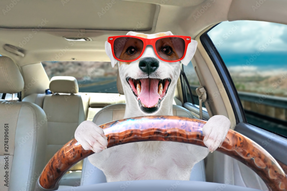 Photo  Portrait of a funny dog Jack Russell Terrier in sunglasses behind the wheel of a