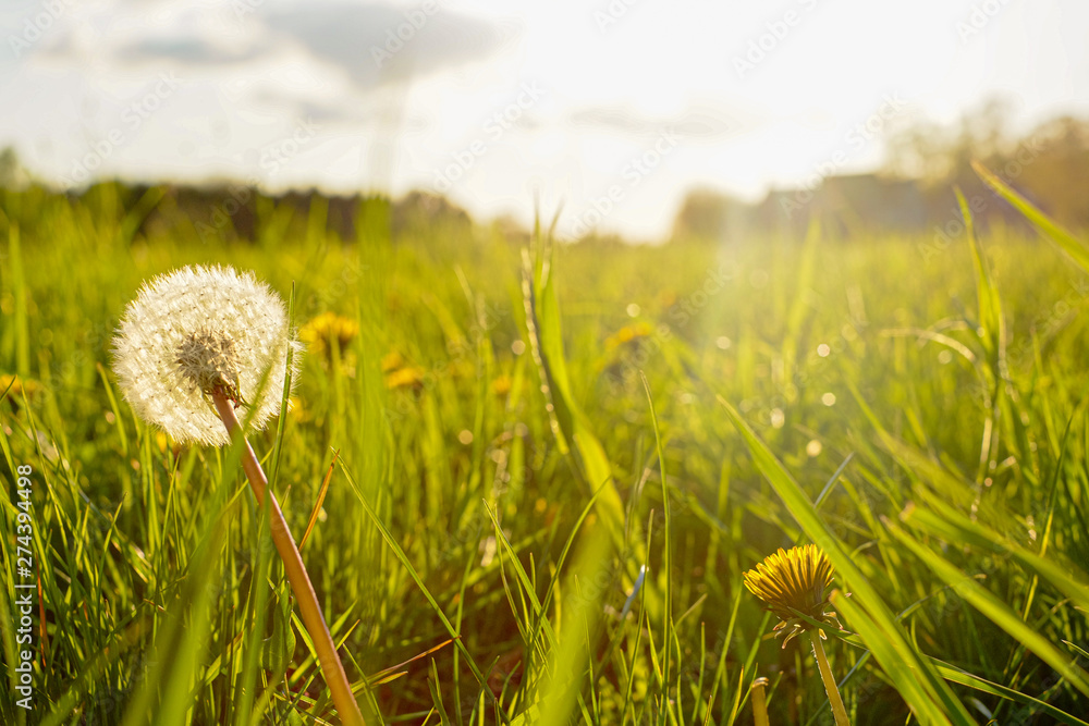 Fototapety, obrazy: Silhouette of a dandelion in closeup against sun and sky during the dawn or sunset, creating a meditative summer zen concept background