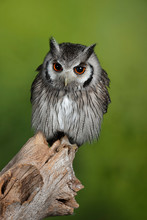 Stunning Portrait Of Southern White Faced Owl Ptilopsis Granti In Studio Setting With Green Nature Background