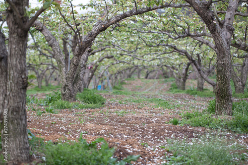Foto op Canvas Weg in bos Many pear bloom trees in the orchard
