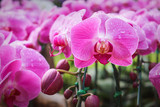 Colorful nature sweet pink phalaenopsis orchids patterns with water drops blooming in morning garden