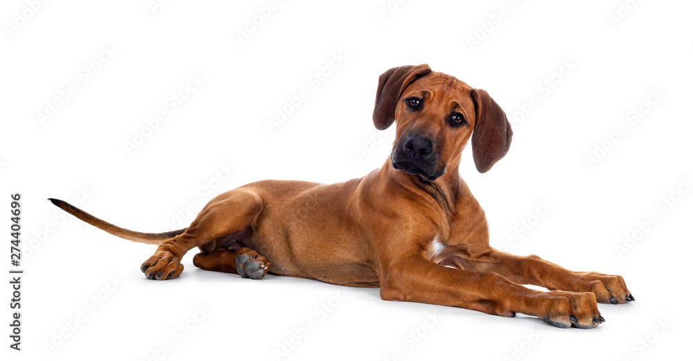 Fototapety, obrazy: Cute wheaten Rhodesian Ridgeback puppy dog with dark muzzle, laying down side ways facing front. Head up and looking at camera with sweet brown eyes. Isolated on white background.
