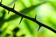 Leinwandbild Motiv Thorns of bergamot trees,Close-Up Lime tree thorns on nature background, Bergamot tree thorns,Green blurred background