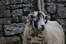 Stunning Swaledale Sheep In Th...