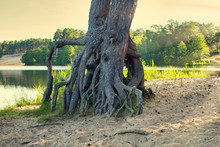 Bare Pine Roots On The Sandy Shore Of The Lake At The Golden Hour. Mystical Tree Roots.