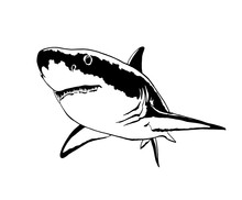 Graphical Sketch Of Shark Isolated On White Background,vector  Sea-food Illustration