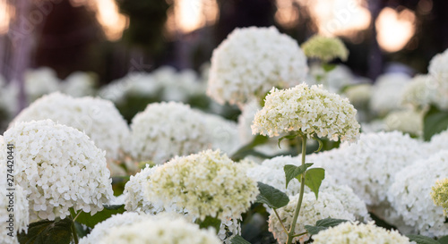 White hydrangea blooming in the evening summer garden