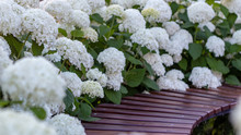 White Hydrangea Blooming In Th...