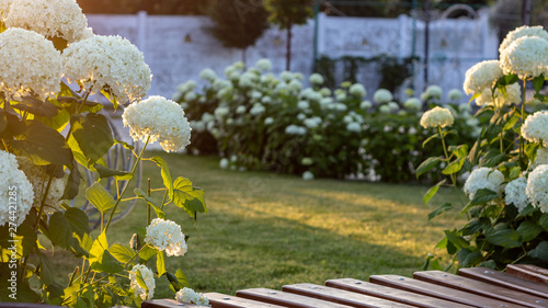 Foto auf Gartenposter Hortensie White hydrangea blooming in the evening summer garden