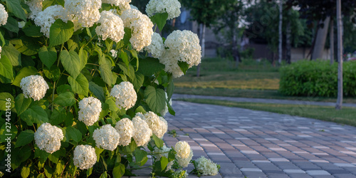 Fototapeta White hydrangea blooming in the evening summer garden