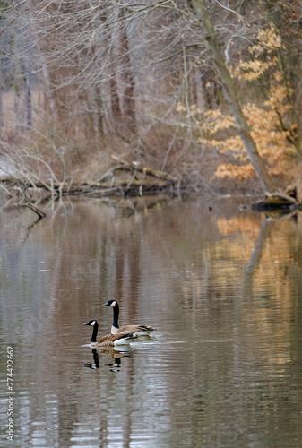 Fototapeta  Geese on Lake