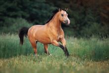 Cream-coloured Horse Running Through The Pasture