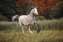 Gray Horse Running Through The Pasture