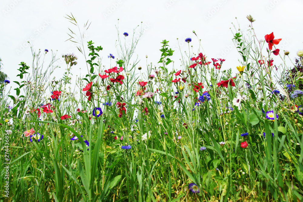 Fototapety, obrazy: Colorful flower variety in extensive flowering areas