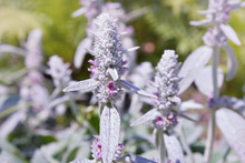 Garden Plant Stachys Byzantina, Close Up, Is Used For Landscape Design. Stachys Byzantina (Lambs Ears)