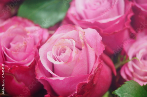Spoed Fotobehang Roze Rose flower plant landscape
