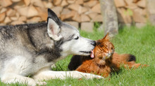 Siberian Husky Dog Licking Som...