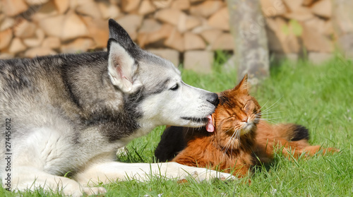 Photo Siberian Husky dog licking Somali cat, lying together side by side in a green gr