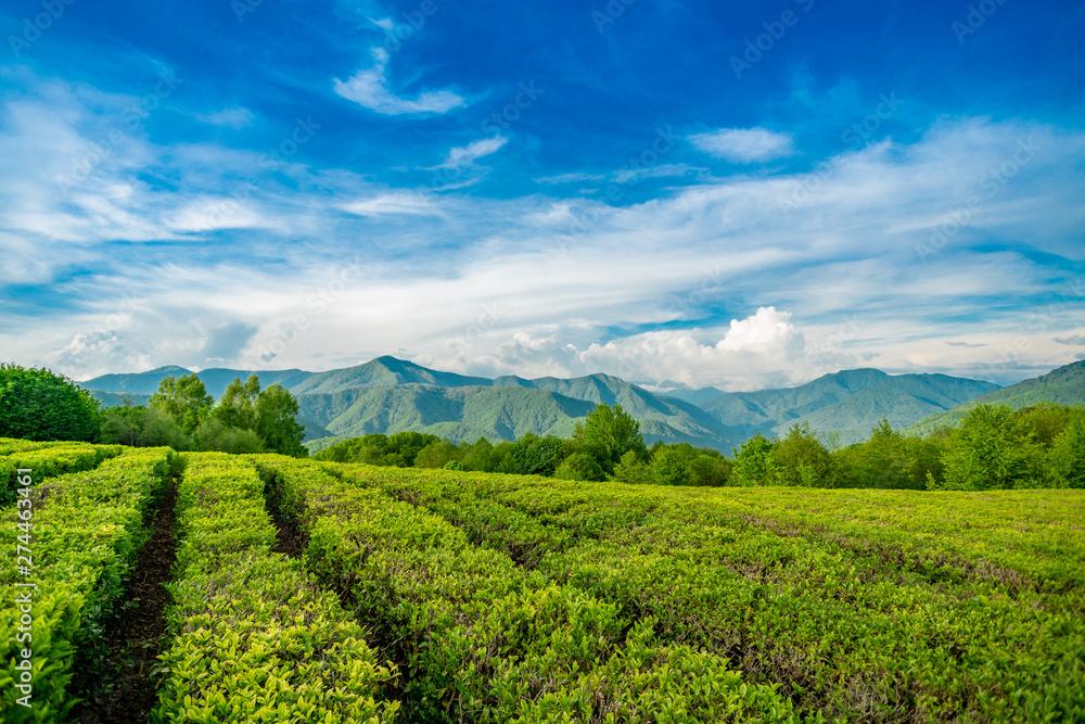 Fototapety, obrazy: Tea plantation in the mountains of Sochi